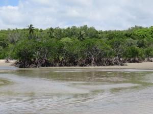 Port Douglas - Das Ende des Four Mile Beach, Mangrovenwald