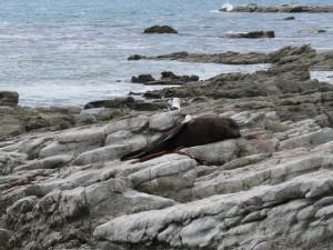 Kaikoura - Seehund beim MIttagsschläfchen, wer stört?