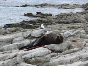 Kaikoura - Seehund beim MIttagsschläfchen