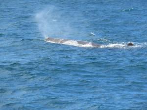 Der erste Wal beim luftholen - Ein Pottwal, dass größte Raubtier der Welt