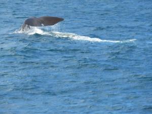 Der erste Wal beim abtauchen - Ein Pottwal, dass größte Raubtier der Welt