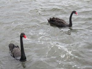 Rotorua - Die Bewohner der Strandpromenade
