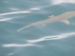 Inselausflug Low Isles: Vor der Rückfahrt auf dem Katamaran - Haie im Anmarsch, leider zu schnell für mich  :-)